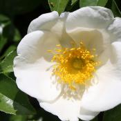 Cherokee rose; official state flower of Georgia