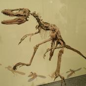 Coelophysis fossil