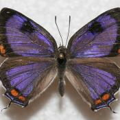 Colorado Hairstreak Butterfly