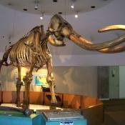 Columbian mammoth fossil