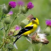Male eastern goldfinch