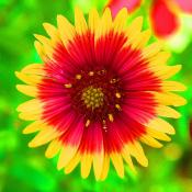 Indian blanket wildflower