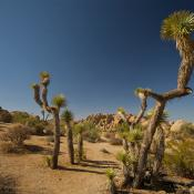 Joshua Tree National Forest