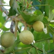 Green nuts on Kukui tree