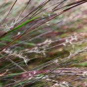 Little bluestem grass seeds
