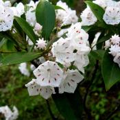 Mountain laurel - state flower of Connecticut and Pennsylvania