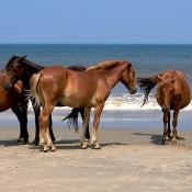 Wild Spanish Mustangs in North Carolina