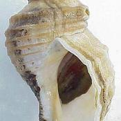 New England neptune shell