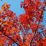 Red oak tree in autumn