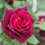 Oklahoma rose; hybrid tea rose; state flower of Oklahoma