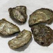 Ostrea lurida oysters, the official state oyster of Washington state