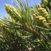 Pinyon tree (Pinus edulis)