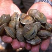 Hard clams (Mercenaria mercenaria), commonly called quahaugs