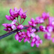 Eastern redbud tree blossoms (Cercis canadensis)