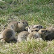 Richardson's ground squirrels (flickertails)