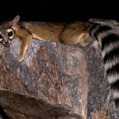 Ringtail in Phoenix, Arizona