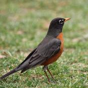 American Robin - state symbol of Connecticut, Wisconsin, and Michigan