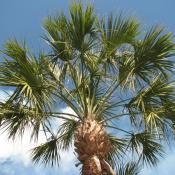 Cabbage palm tree (sabal palmetto)
