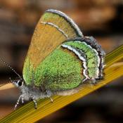 Sandia Hairstreak butterfly (Callophrys mcfarlandi)