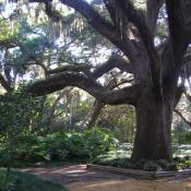 Southern live oak (Quercus virginiana) hung with Spanish moss