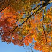 Sugar maple tree in glorious fall colors