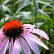 Tennessee coneflower near Memphis