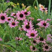 The Tennessee Purple Coneflower (echinacea tennesseensis); Tennessee state wildflower