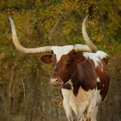 Texas Longhorn Steer