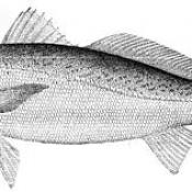 Weakfish (Cynoscion regalis)