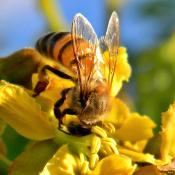 Western honey bee collecting nectar
