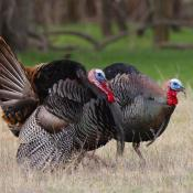 Two eastern wild turkey (toms)