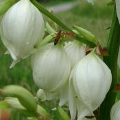 Yucca flowers