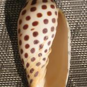 Junonia shell - Alabama state shell