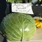 Giant Alaskan cabbage
