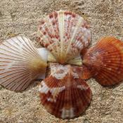 Bay scallop shells