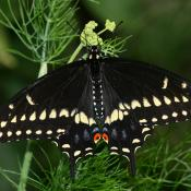 Male black swallowtail butterfly (Papilio polyxenes)