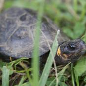Bog turtle; reptile symbol of New Jersey