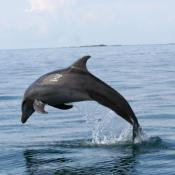Bottlenose dolphin; the perfect jump