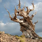 Bristlecone pine tree trunk
