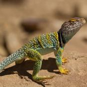 Collared lizard (Crotaphytus collaris)