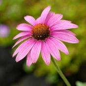 Tennessee coneflower (Echinacea Tennesseensis)