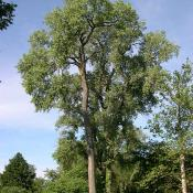 Eastern Cottonwood tree (Populus deltoides)