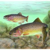 Cutthroat trout artwork