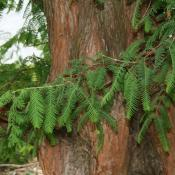 Dawn redwood (Metasequoia)