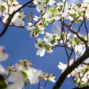 Flowering dogwood tree (Cornus Florida L.)