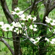 Dogwood tree in bloom