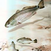 Channel bass illustration (Sciaenops ocellatus)