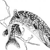 Northern pike illustration