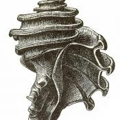 Illustration of Ecphora gardnerae fossil shell
