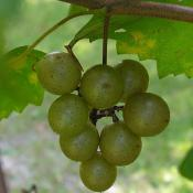 Scuppernong grapes